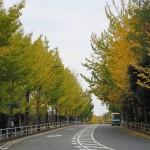 2015年の紅葉2(永山いちょう通り・諏訪南通り)